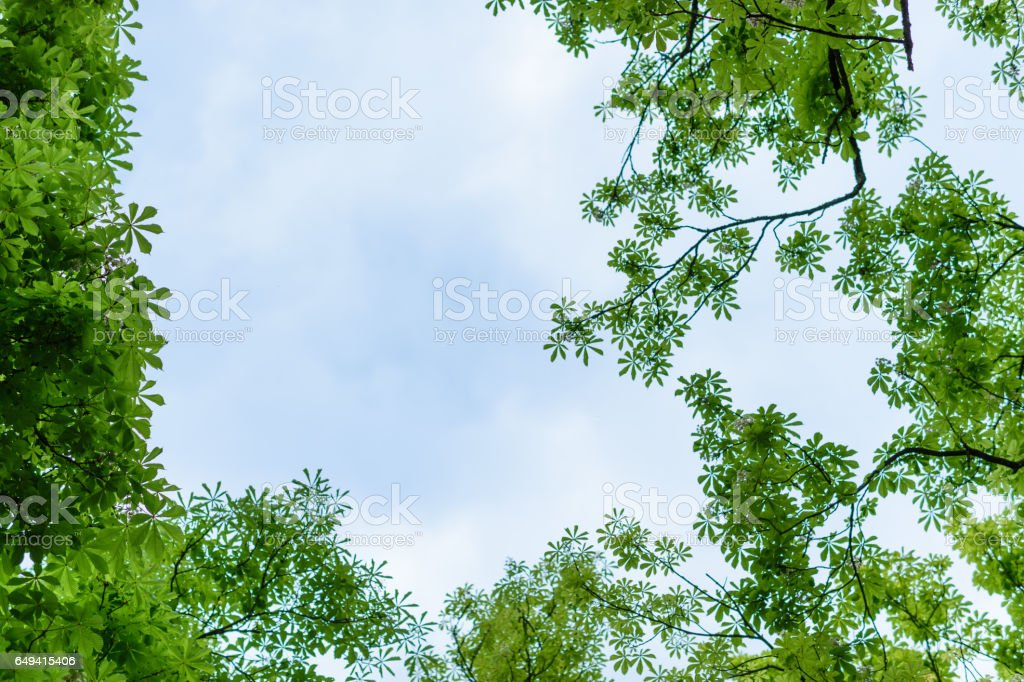 Chestnuts tree in spring from below stock photo