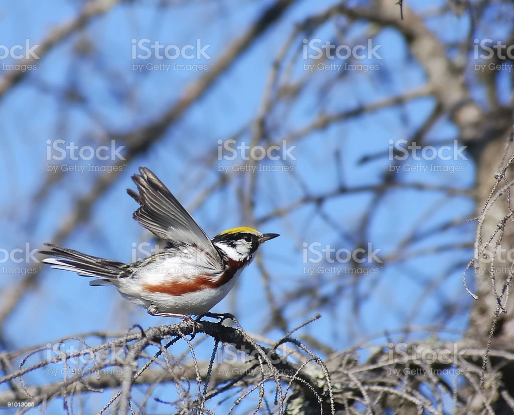 Chestnut-sided Warbler Taking Off stock photo