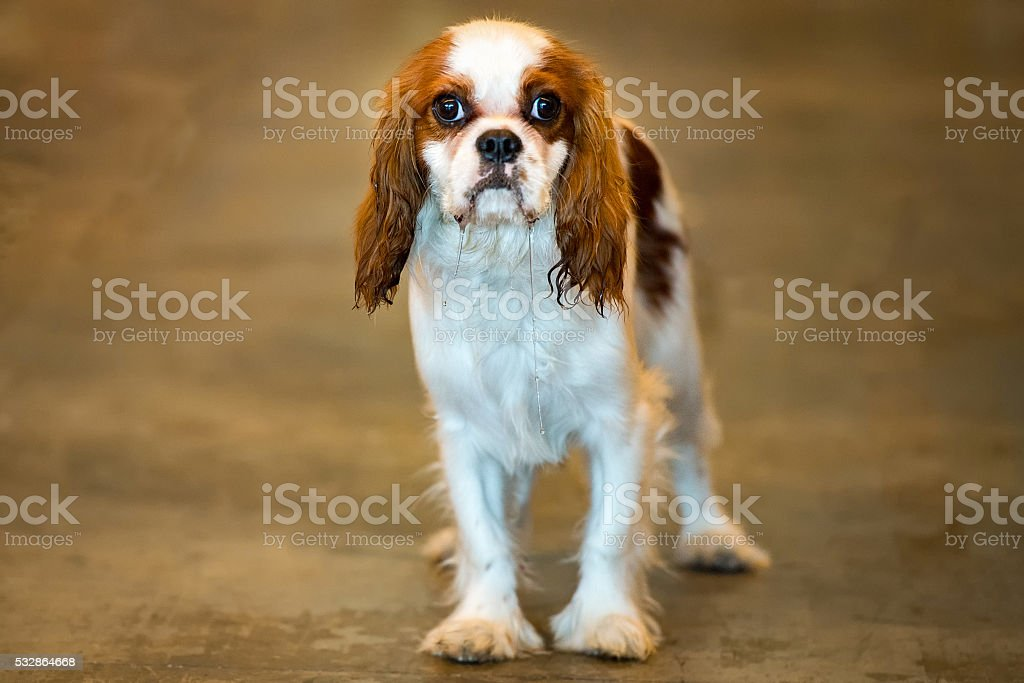 chevalier king dog portrait looking at you stock photo
