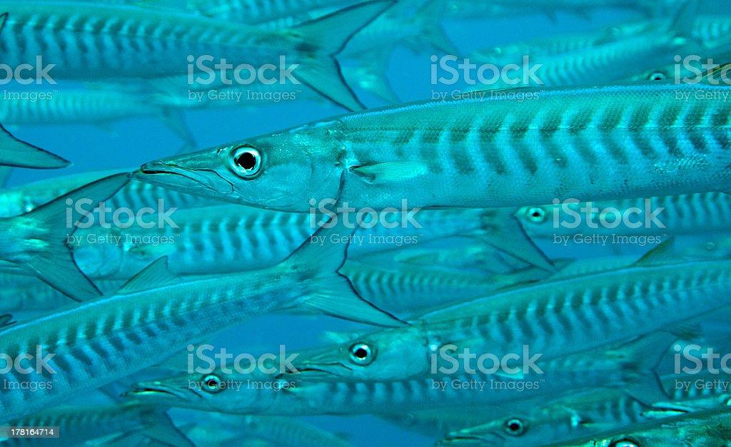 chevron or black fin barracuda close royalty-free stock photo