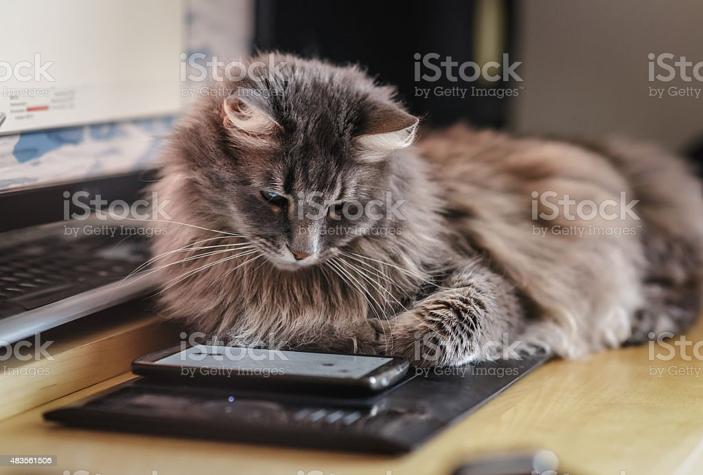 Chewie the cat watching at the smartphone screen stock photo