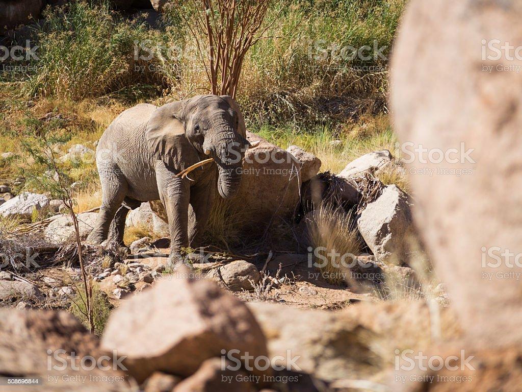 Chewing elephant stock photo