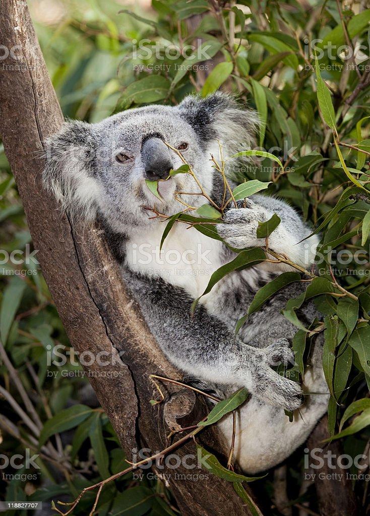 chewing koala royalty-free stock photo