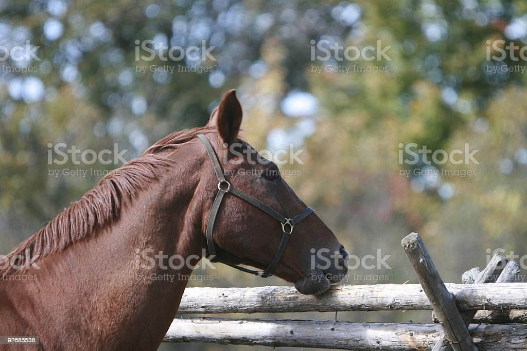 Chewing the fence.... stock photo