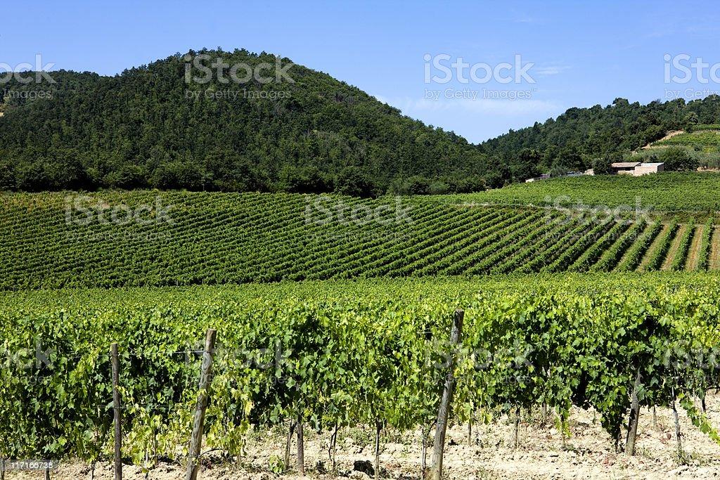Chianti Region. Vineyard. Color Image royalty-free stock photo