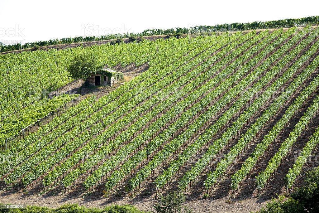 Chianti Vineyard royalty-free stock photo