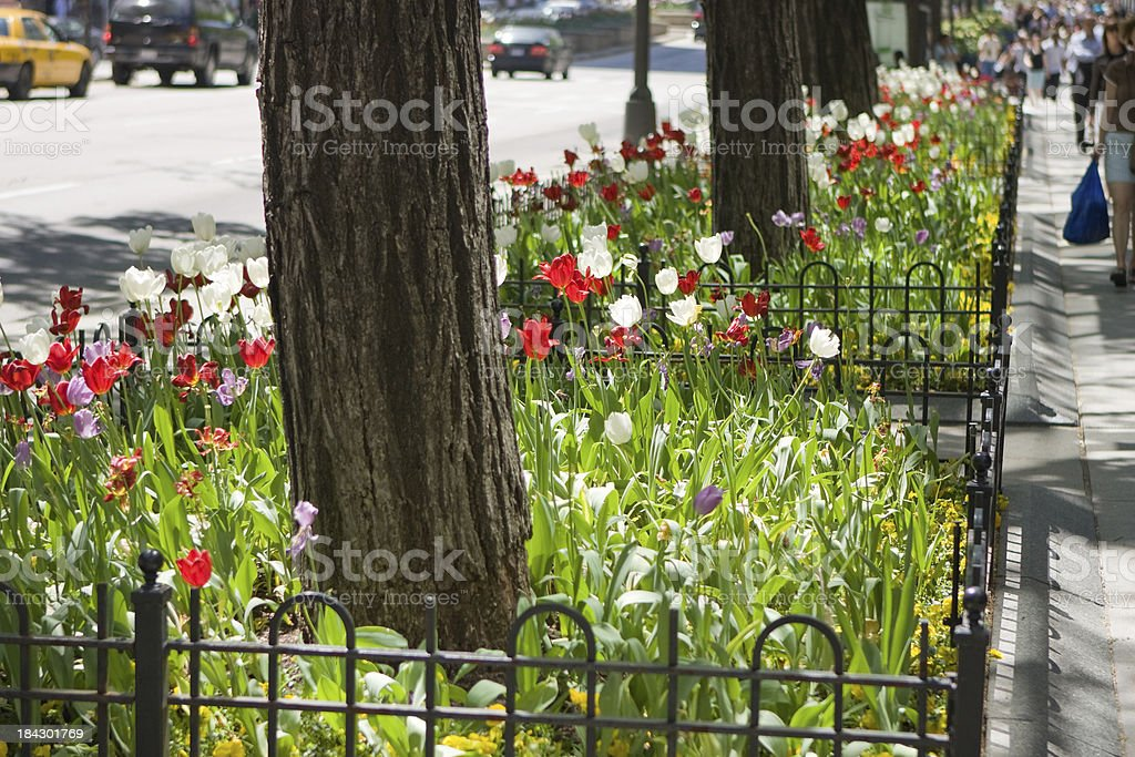 Chicago Michigan Avenue Tulips royalty-free stock photo