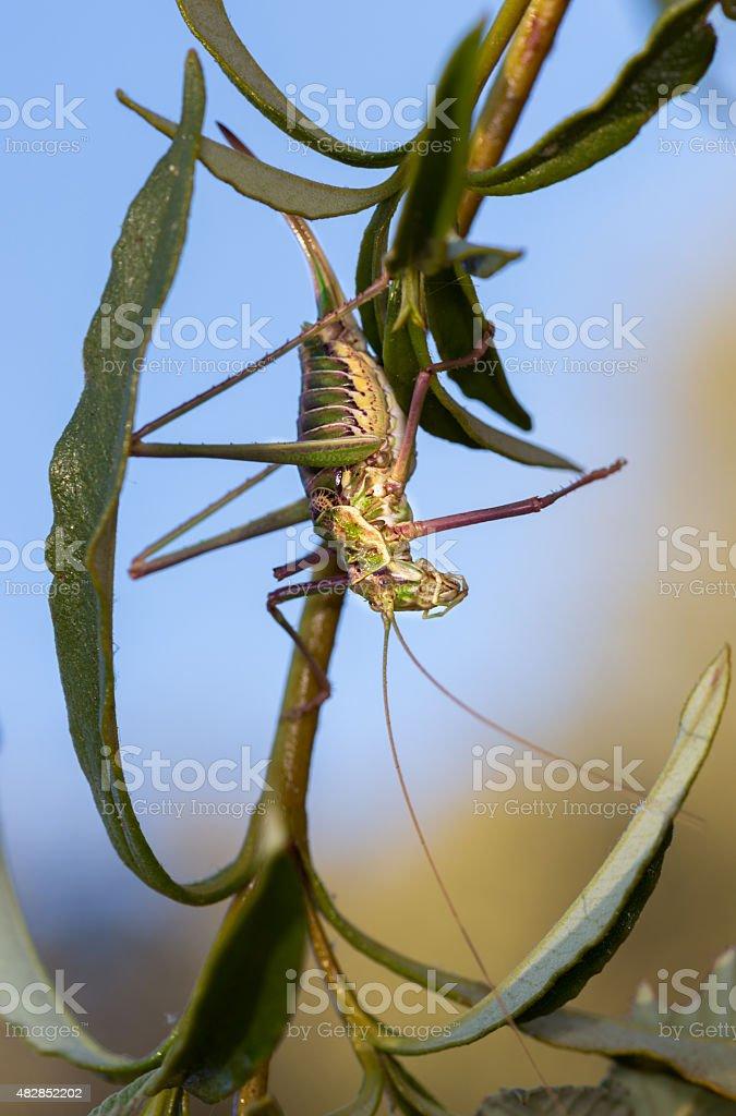 Chicharra alicorta hembra stock photo