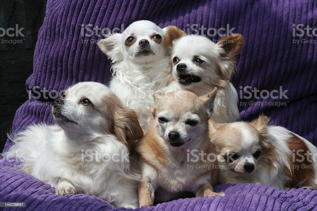 Chichi familia, chihuauas foto de stock libre de derechos