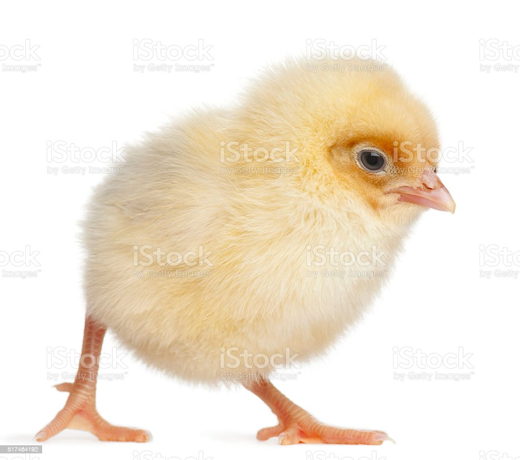 Chick, 2 days old, in front of white background stock photo