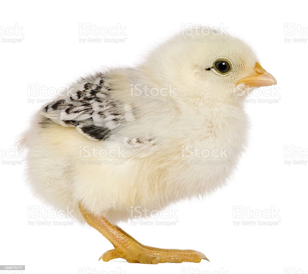 Chick, 3 weeks old, standing in front of white background royalty-free stock photo