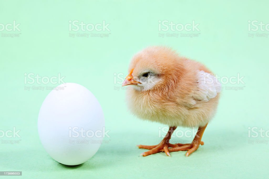 Chick and egg stock photo