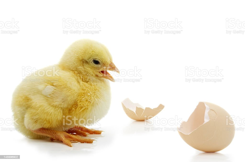 chick and shells royalty-free stock photo