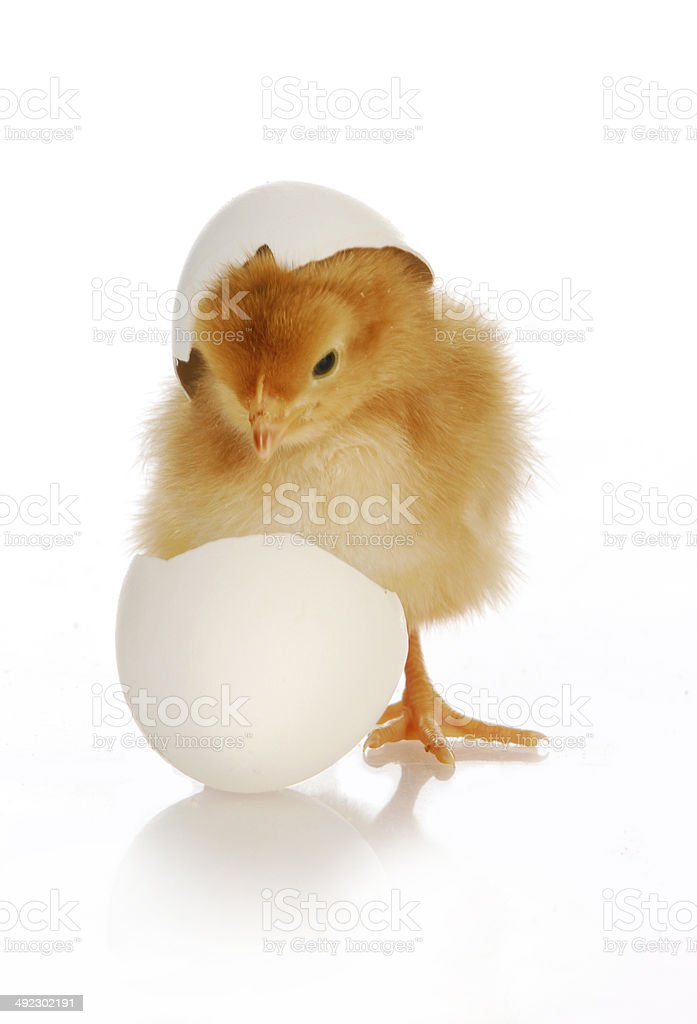 chick hatching stock photo