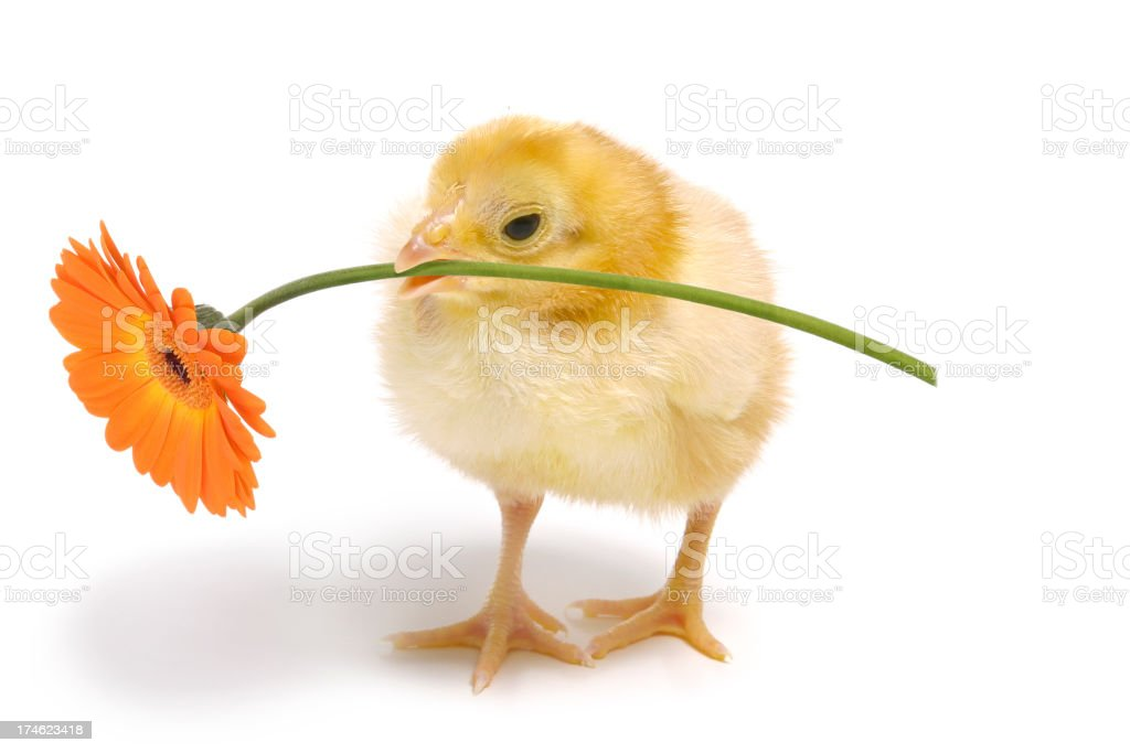 Chick Holding a Daisy royalty-free stock photo