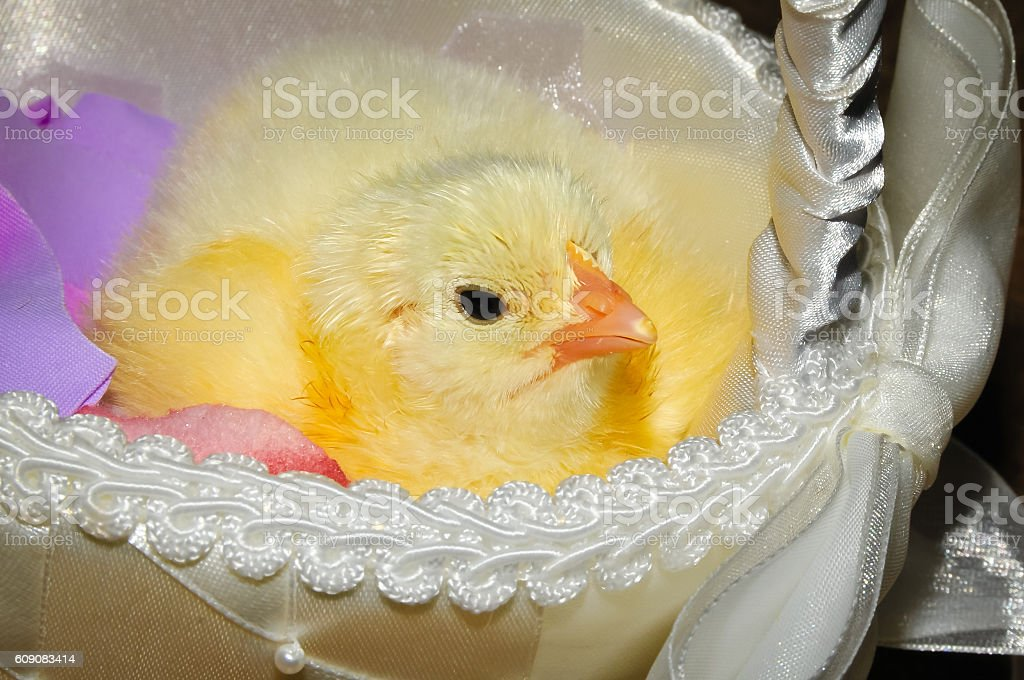 Chick in a Basket stock photo