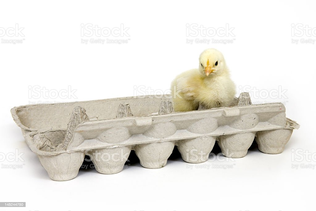 Chick in an egg carton royalty-free stock photo