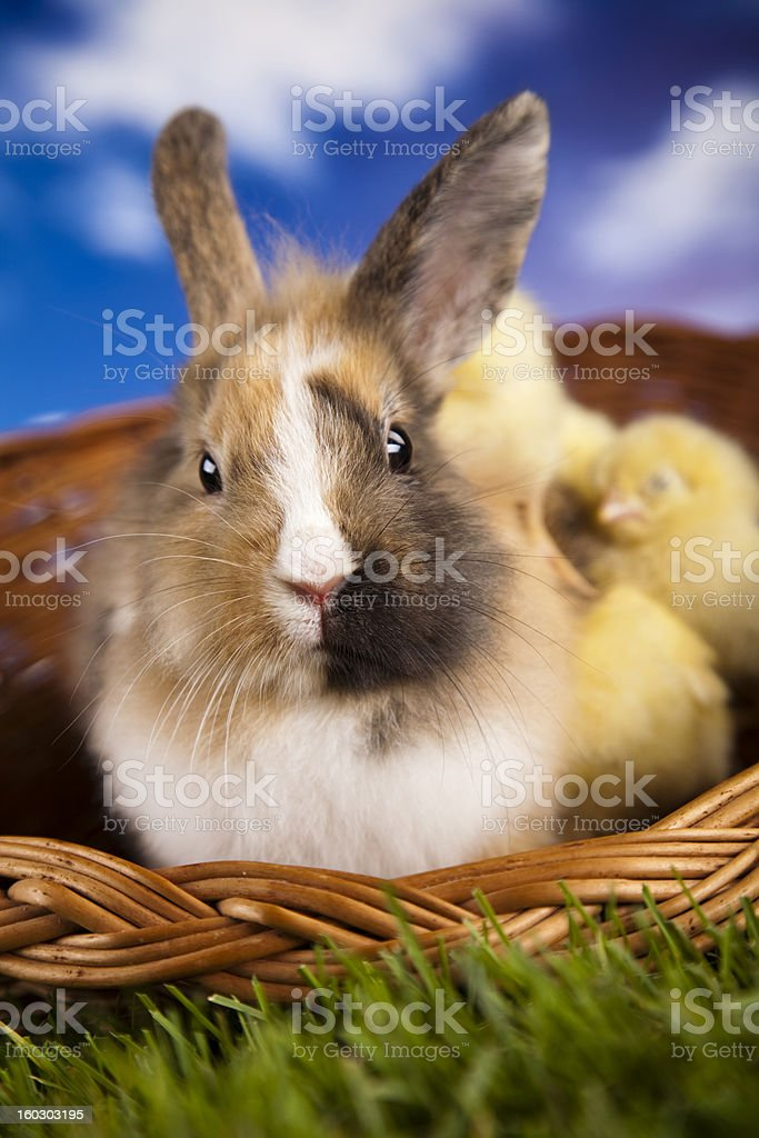 Chick in bunny royalty-free stock photo
