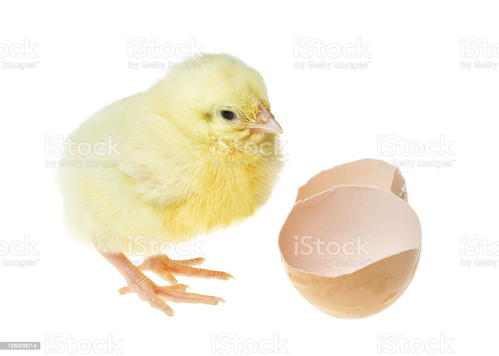 chick near shell royalty-free stock photo