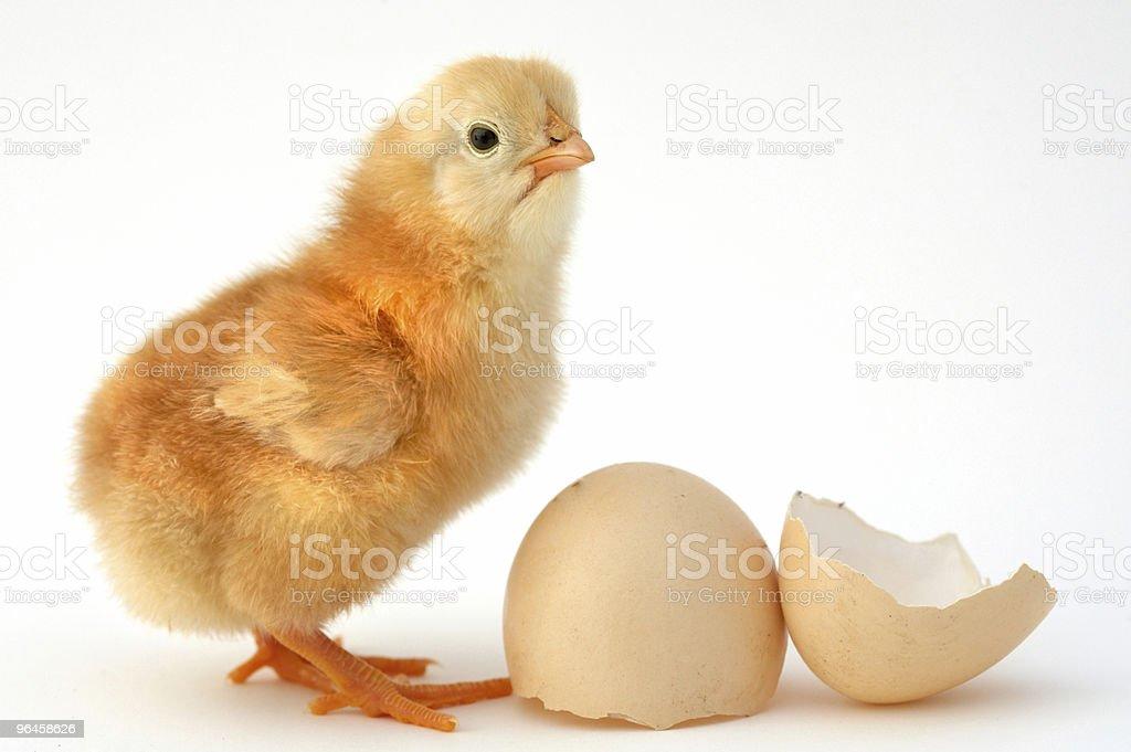 chick new born royalty-free stock photo
