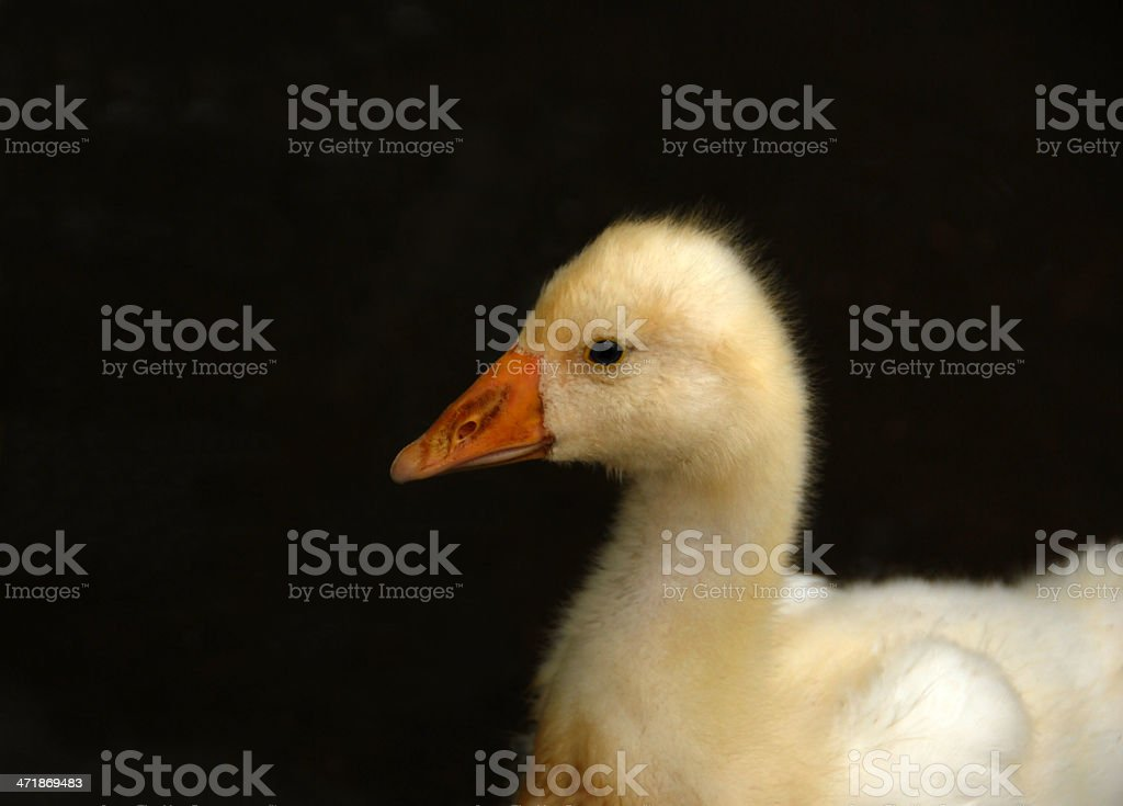 Chick of an Embden Goose stock photo