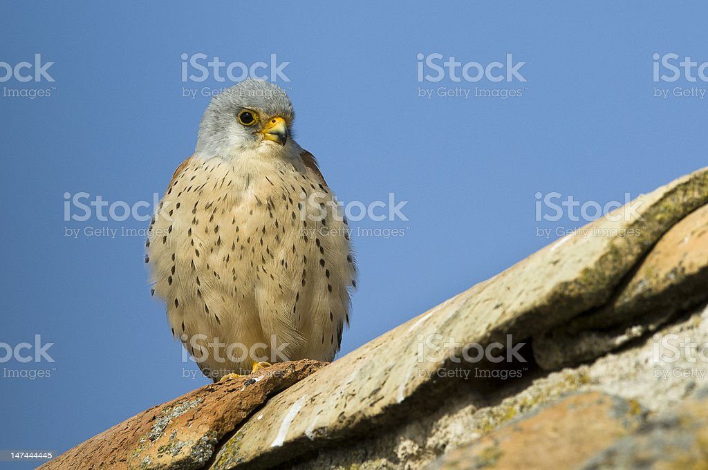 Chick of kestrel in the roof royalty-free stock photo