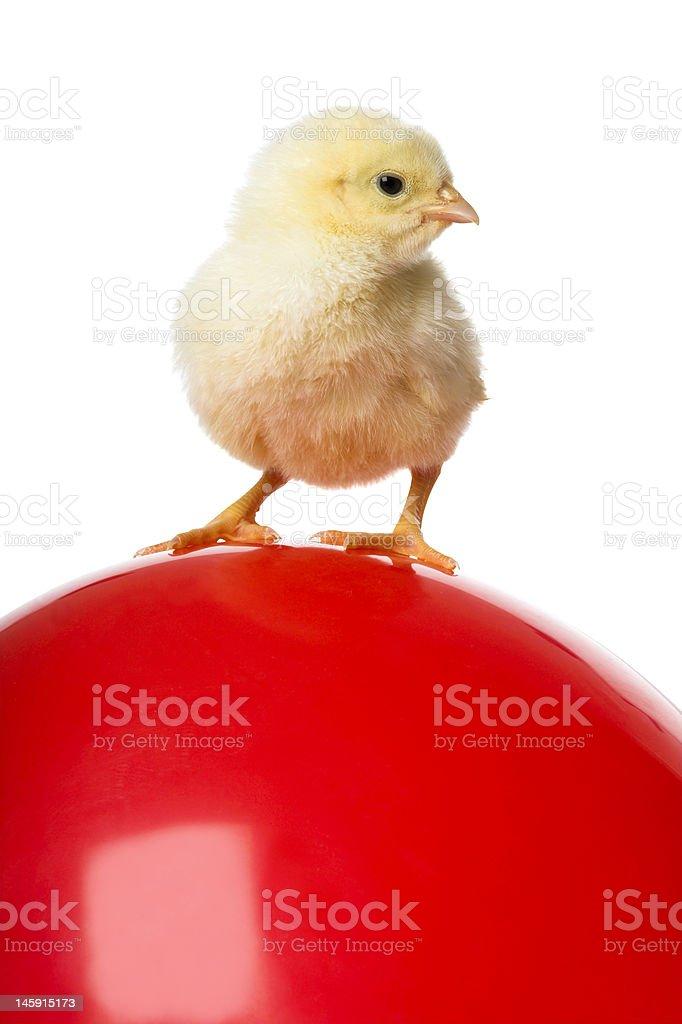 chick on balloon stock photo