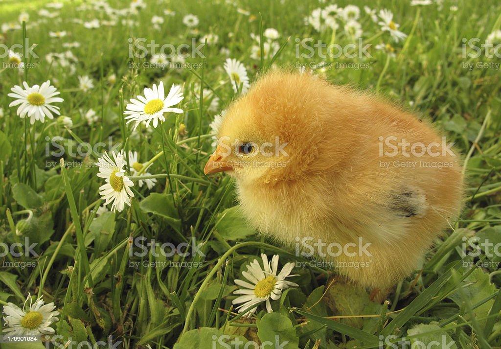 Chick on daisy field royalty-free stock photo