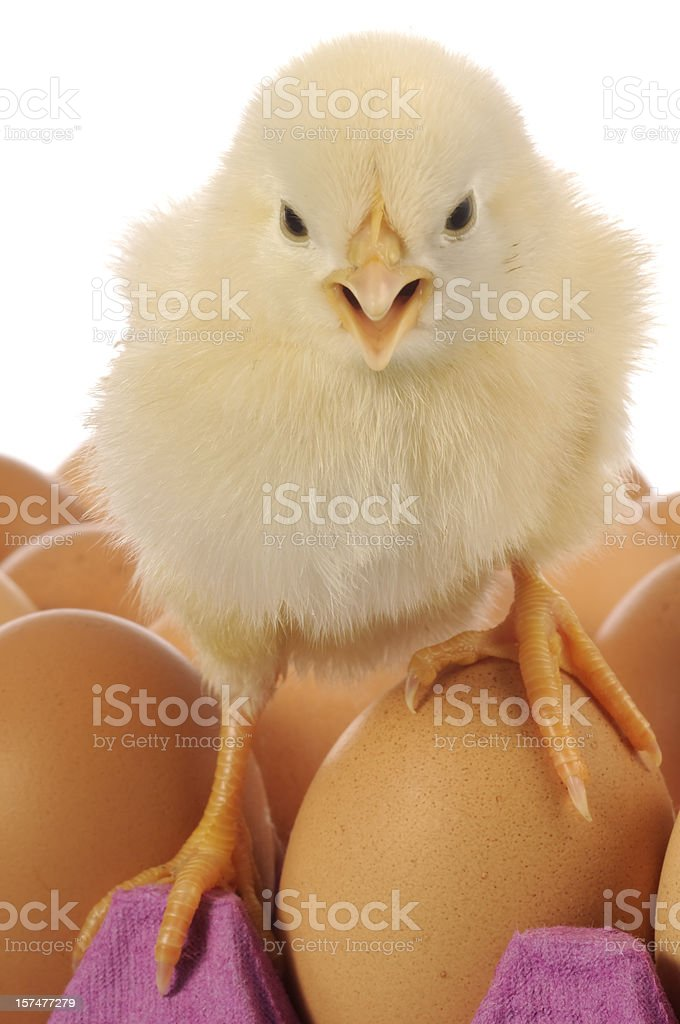 Chick on Eggs stock photo