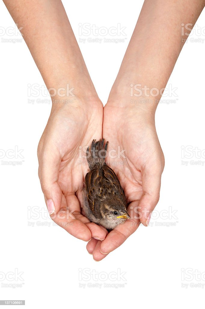 chick on his  hands stock photo