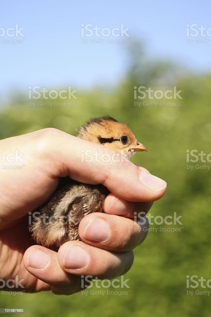 Chick protection royalty-free stock photo