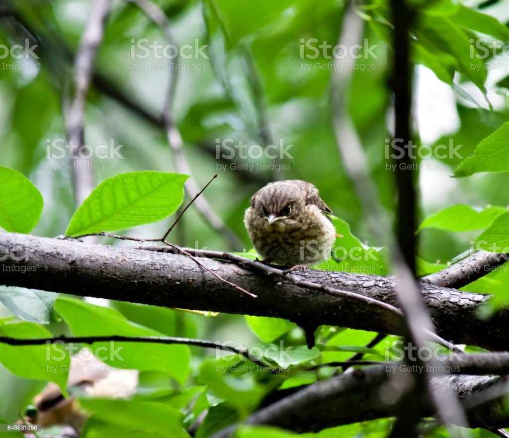 chick Redstart sitting in a tree and waiting for parents stock photo