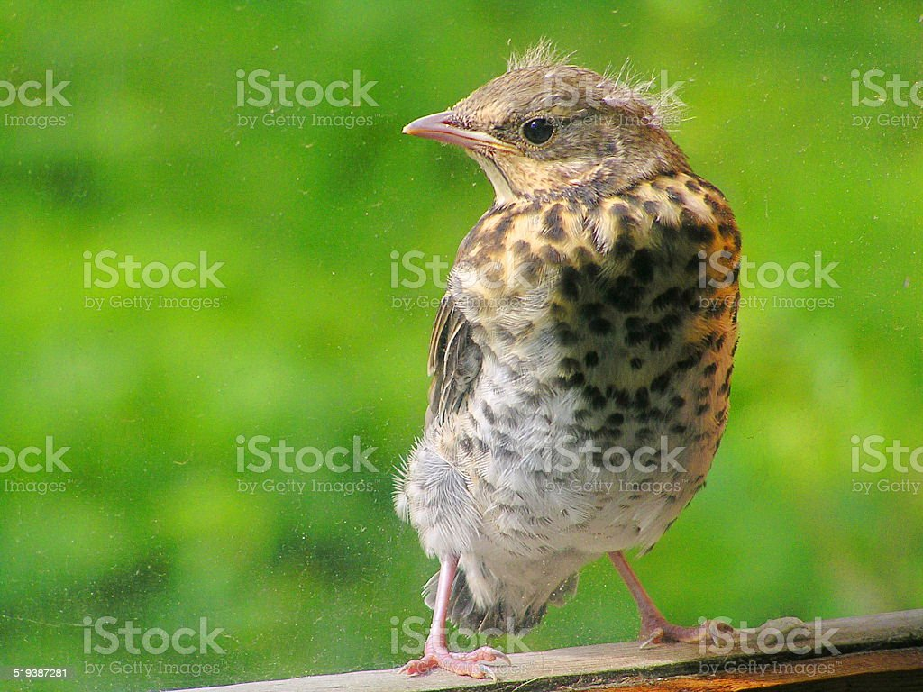 Chick thrush looks out the window stock photo