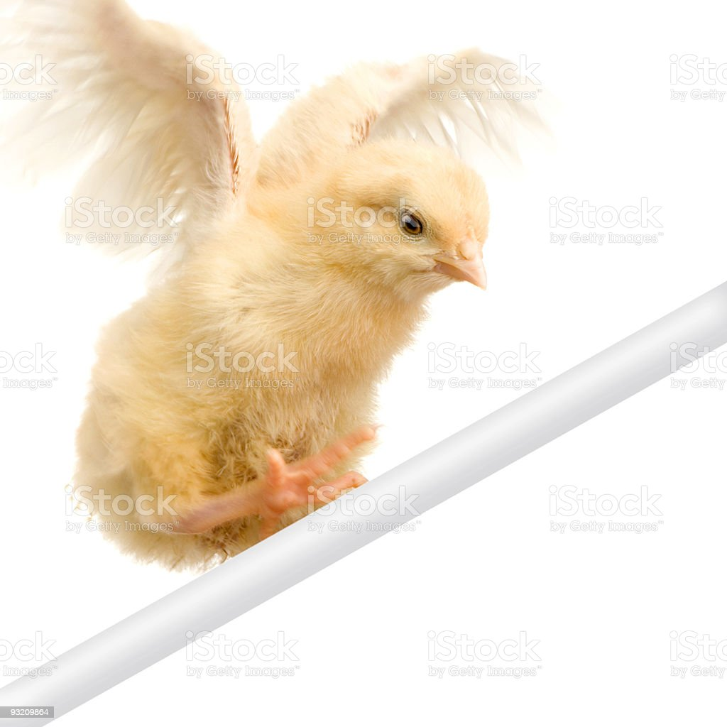 chick trying to fly royalty-free stock photo