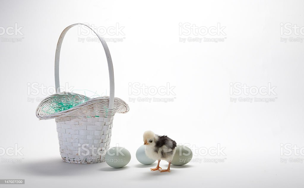 Chick with basket and eggs royalty-free stock photo
