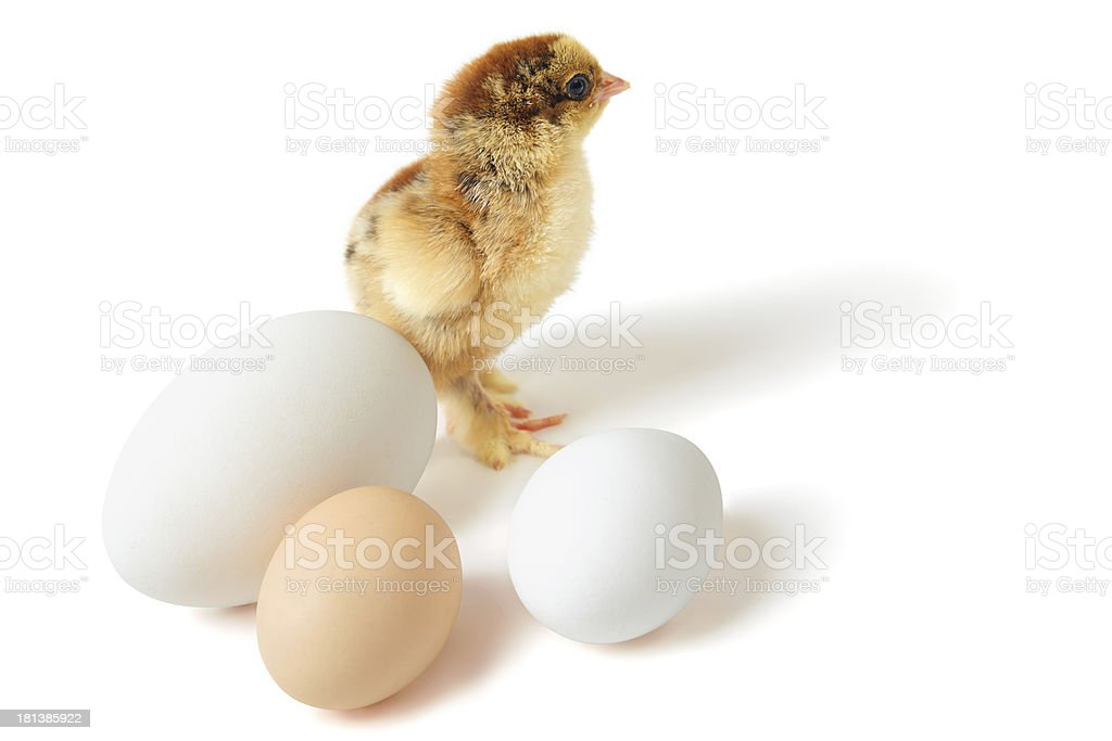 Chick with eggs royalty-free stock photo