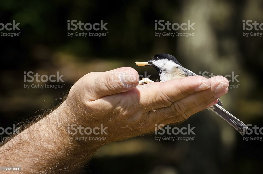 Chickadee Eating Peanut From a Hand royalty-free stock photo