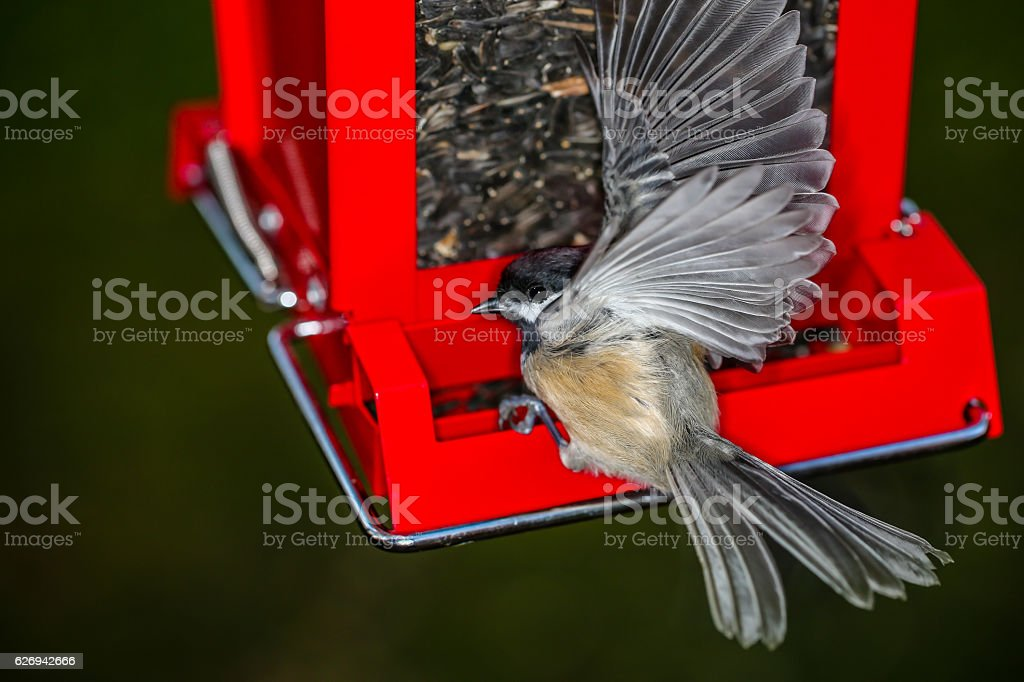 Chickadee in motion on Feeder stock photo