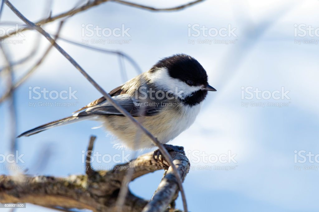 Chickadee perch on a branch stock photo