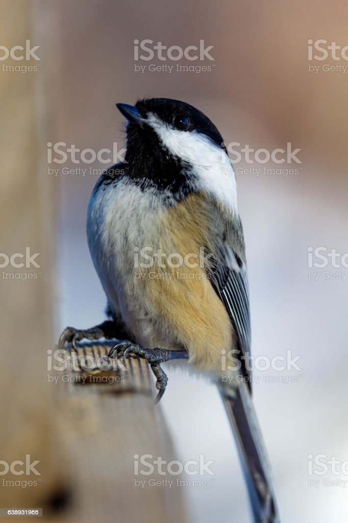 Chickadee perch on a feeder stock photo