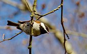 Chickadee perched on a twig in the winter sun.