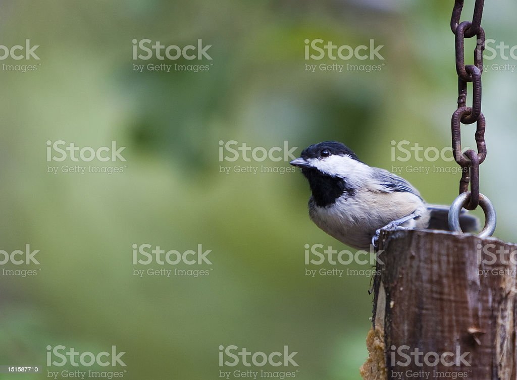 Chickadee perching stock photo