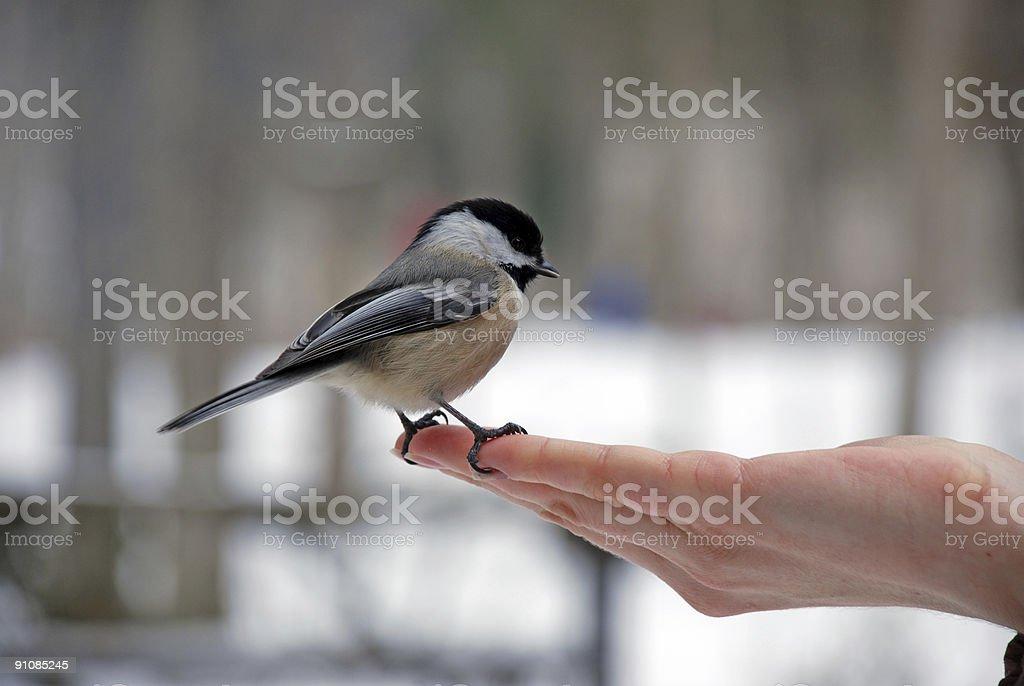 Chickadee royalty-free stock photo