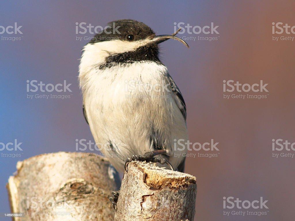 chickadee with deformity stock photo
