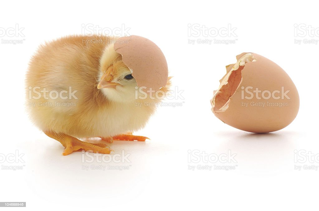 Chicken and an egg shell royalty-free stock photo