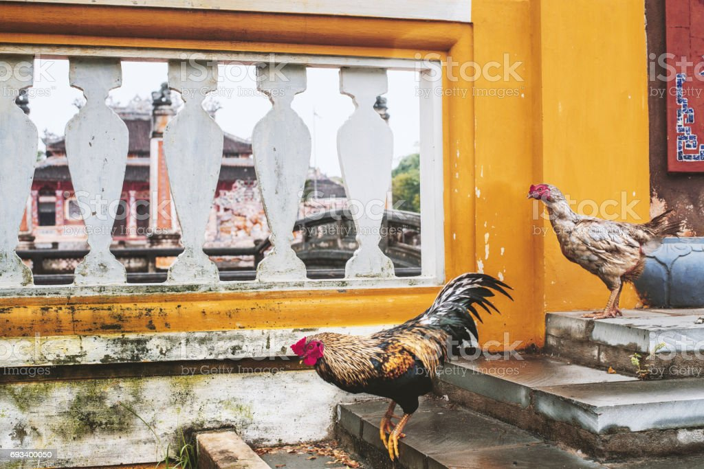 chicken and Rooster near Confucian Temple, Hoi An, Quang Nam Province, Vietnam stock photo