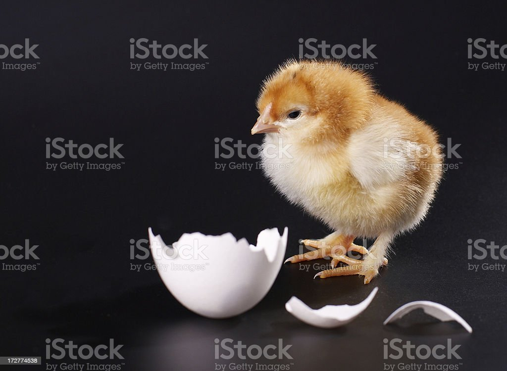 chicken and shell royalty-free stock photo
