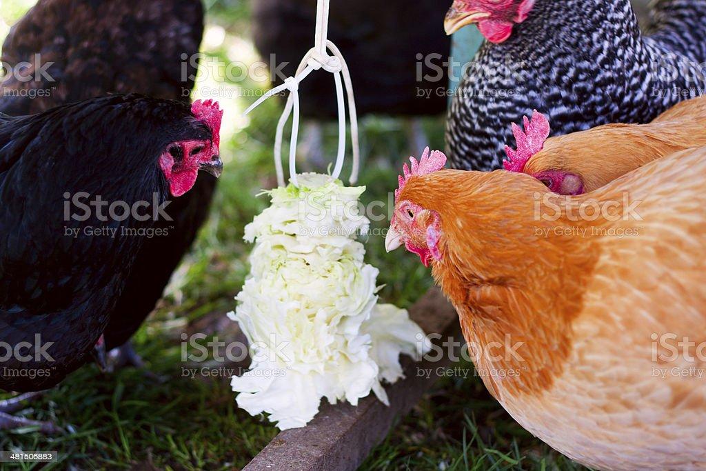 Chicken Cabbage Tetherball stock photo