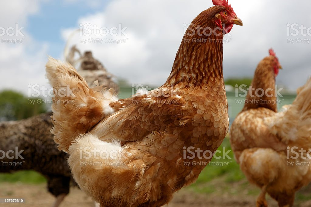 Chicken close up royalty-free stock photo