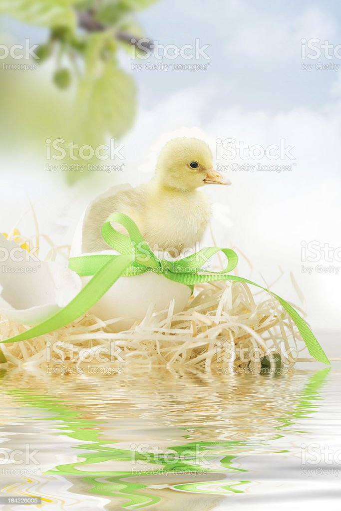 chicken coming out of a white egg stock photo